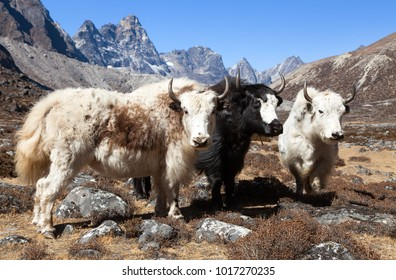 yak, group of thee yaks on the way to Everest base camp - Nepal Himalayas