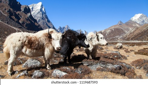 yak, group of three yaks on the way to Everest base camp, Nepal Himalayas yak is farm an d caravan animal in Nepal and Tibet