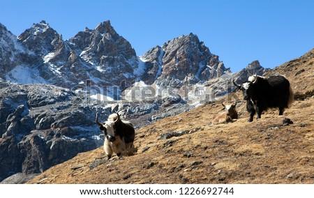 yak group of three