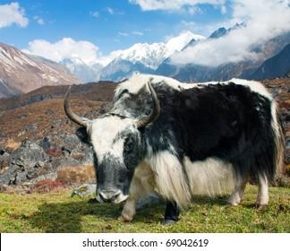 Yak in Langtang valley with Langshisha Ri mout - Nepal