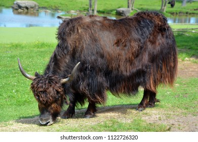 The yak is a long-haired bovid found throughout the Himalaya region of southern Central Asia, the Tibetan Plateau and as far north as Mongolia and Russia.