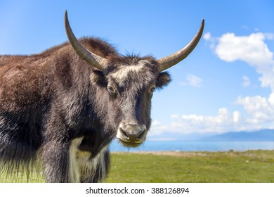Yak in Mongolia
