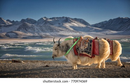 Yak, Namtso Lake in Tibet,China