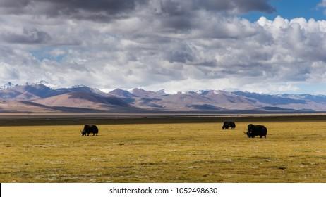 Yak on the northern Tibetan grassland