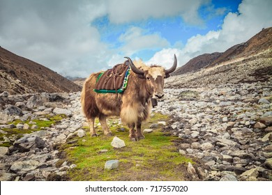 Yak on the way to Everest base camp - Nepal, Himalayas. The horned longhair buffalo is standing in a ravine surrounded stones looking into the camera. Cargo delivery in the high mountains