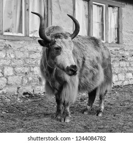 Yak standing in front of a small hotel, scene in Gokyo, Nepal.