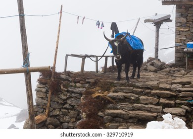 Yak standing snowing stormy weather near stone steps building lodge, Gosaikunda trekking route, Langtang mountains region, Nepal