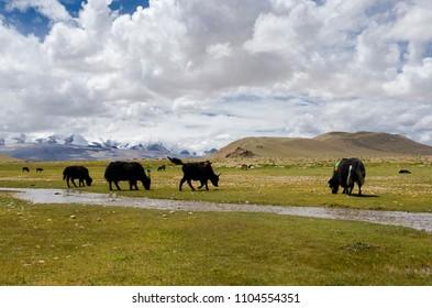 Yak and Tibetan Gazelle on the Prairie