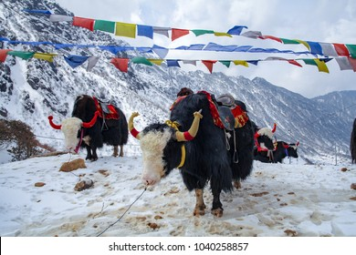 Yak at the Tsomgo (Changu) Lake in East Sikkim, India. It is a sacred natural glacial lake on top of mountain in Gangtok East Sikkim.