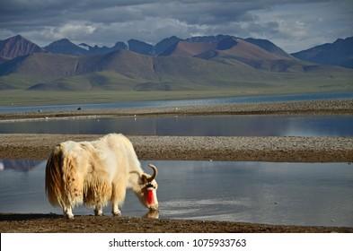 Yak(Bos grunniens) at Namtso Lake, the Holy Lake of Tibetan, Tibet