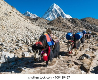 Yaks carrying heavy goods to Everest Base Camp in Himalaya - Sagarmatha National Park, Khumbu region, Nepal
