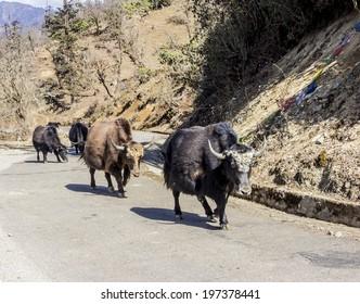 yaks grazing and walking along the national highway of Bhutan