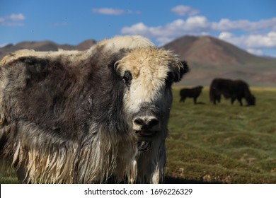 Yaks in green pastures spotted in Altai mountains, Mongolia