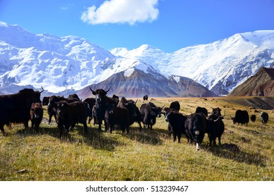 Yaks at Lenin Peak basecamp