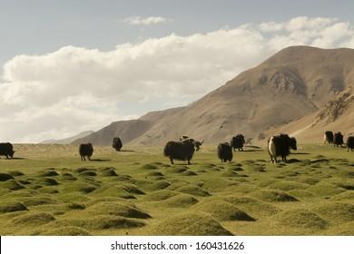 Yaks in the tibetan plateau