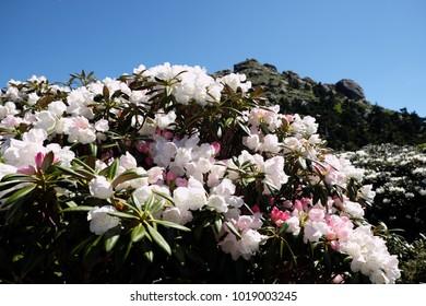 Yakushima rhododendron beautiful
