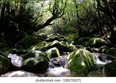 Yakushima Shirataniunsuikyou Moss forest