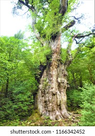YAKUSUGI is the largest in Jomon cedar in yakushima japan