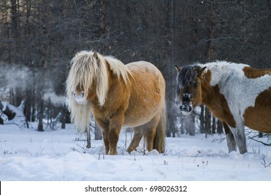 Yakut horse. Northern horse from Yakutia. Yakut horses graze at winter sunset, Yakutia, Russia. Icelandic horse. Beautiful Horse Breed