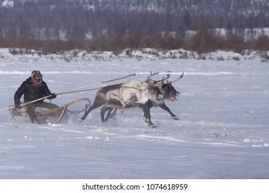 Yakutia, Russia - Mar 17, 2016: Reindeer Racing in Yakutia