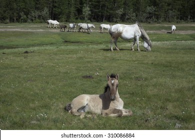 Yakutia. The surroundings of the village Honu. Yakut horses.