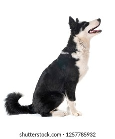yakutian laika in front of white background