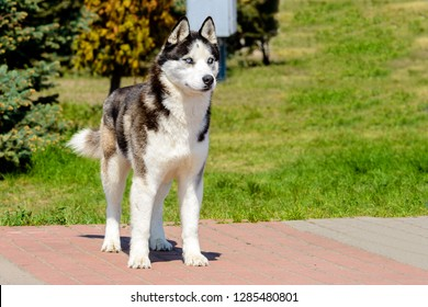 The Yakutian Laika is in the park.