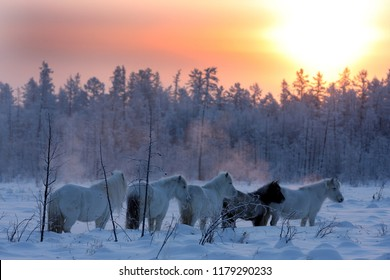 Yakutsk horses are looking for food in the forest in Yakutia in Siberia
