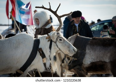 Yakutsk, Republic of Sakha (Yakutia)/Russia-March 18 2017: white stag with one sawn horn at the festival of reindeer herders