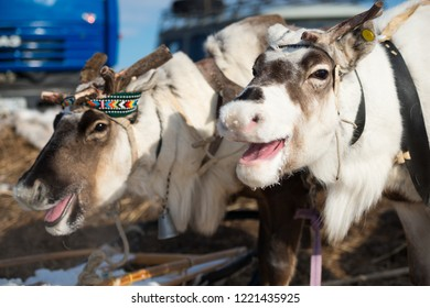 Yakutsk, Republic of Sakha (Yakutia)/Russia-March 18 2017: stags without horns at the festival of reindeer herders