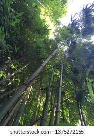 Yalta, Crimea / August, 2018: Bamboo grove. Nikitsky Botanical garden.