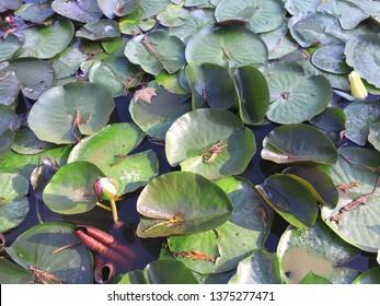 Yalta, Crimea / August, 2018: Pond overgrown with water lilies. Nikitsky Botanical garden.