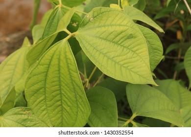 Yam leaf  on  the tree.