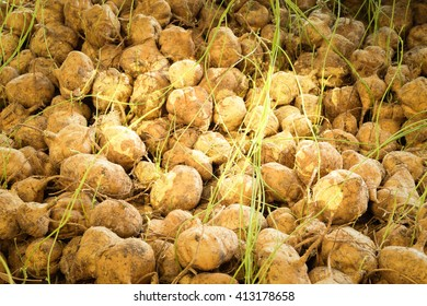 Yam texture surface natural color use for background with world map
