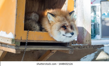 YAMAGATA, JAPAN - FEBRUARY 19, 2018: The foxes of Miyagi Fox Village in winter. This is a rescue center for foxes on the Miyagi side of Mt. Zao.   (7/9)