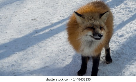 YAMAGATA, JAPAN - FEBRUARY 19, 2018: The foxes of Miyagi Fox Village in winter. This is a rescue center for foxes on the Miyagi side of Mt. Zao.   (4/9)