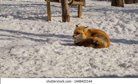 YAMAGATA, JAPAN - FEBRUARY 19, 2018: The foxes of Miyagi Fox Village in winter. This is a rescue center for foxes on the Miyagi side of Mt. Zao.   (6/9)
