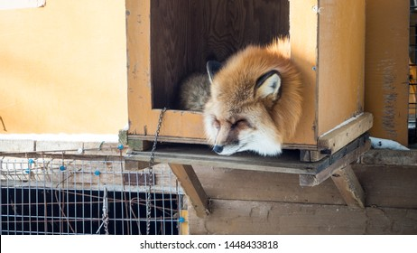 YAMAGATA, JAPAN - FEBRUARY 19, 2018: The foxes of Miyagi Fox Village in winter. This is a rescue center for foxes on the Miyagi side of Mt. Zao.   (9/9)
