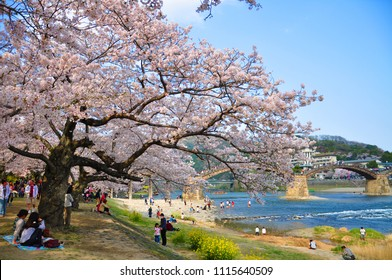 YAMAGUCHI, JAPAN - APRIL 09, 2011: Cherry blossoms at Iwakuni with Kintai-kyo Bridge in the background