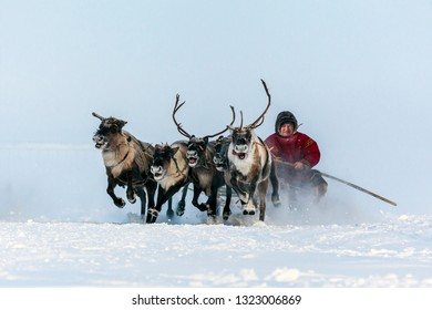 Yamal, open area, tundra,The extreme north,  Races on reindeer sled in the Reindeer Herder's Day on Yamal, Sporting activity.