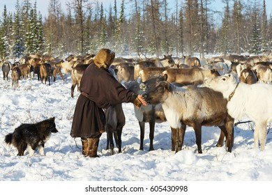 Yamal, Russia - February 15, 2017: Nomad reindeer herder gives salt to his reindeer. Nomadic people migrates with his reindeer herd whole year seeking for rich pasture.