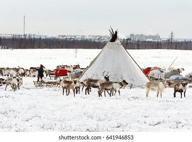 Yamal, Russia - February 17, 2017: Musher of Nenets nationality makes a nomad camp at an outskirts of Labytnangi city. Nomads lose native pastures and due to rapid urbanization of polar territory.