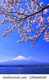 Yamanashi Prefecture Fuji Kawaguchiko Town. Cherry blossoms in full bloom and Mt. Fuji seen from the northern coast of Kawaguchiko.