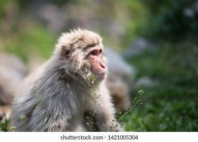 Yamanouchi, Nagano Prefecture, Japan - May 22 2016: A Japanese macaque in the grass at Jigokudani Monkey Park, Japan. Black and white.