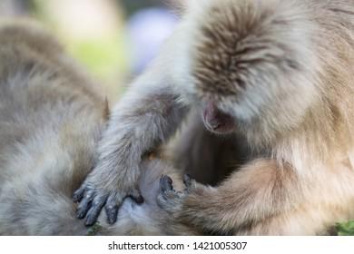 Yamanouchi, Nagano Prefecture, Japan - May 22 2016: A Japanese macaque grooms another at Jigokudani Monkey Park, Japan. Black and white.