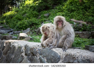 Yamanouchi, Nagano Prefecture, Japan - May 22 2016: Two Japanese macaques at Jigokudani Monkey Park, Japan. Black and white.