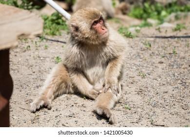 Yamanouchi, Nagano Prefecture, Japan - May 22 2016: A Japanese macaque picks its leg at Jigokudani Monkey Park, Japan.