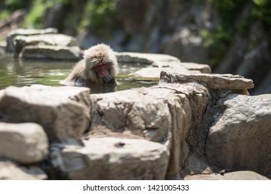 Yamanouchi, Nagano Prefecture, Japan - May 22 2016: A Japanese macaque up to its head in the hot springs at Jigokudani Monkey Park, Japan.