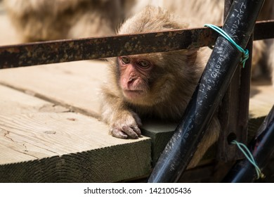 Yamanouchi, Nagano Prefecture, Japan - May 22 2016: A Japanese macaque lays on the bridge at Jigokudani Monkey Park, Japan.