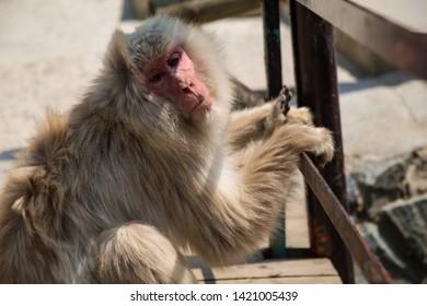 Yamanouchi, Nagano Prefecture, Japan - May 22 2016: A Japanese macaque at Jigokudani Monkey Park, Japan.
